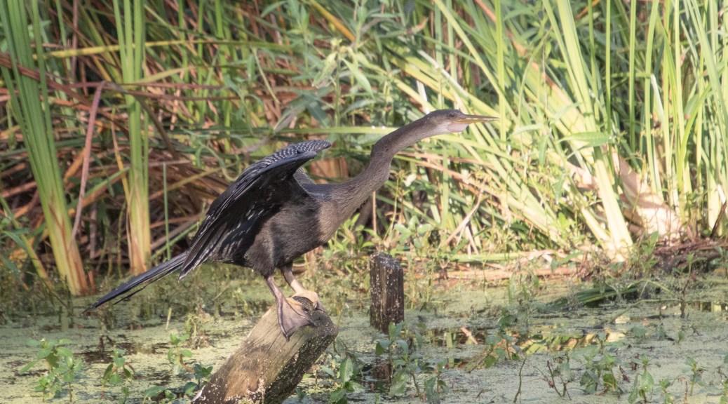 Anhinga In A Swamp
