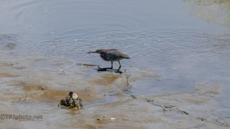Following The Tracks, Green Heron