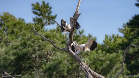 Wood Storks, Old Favorite Spot
