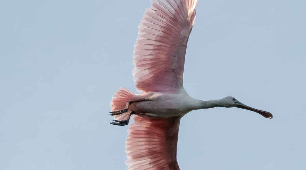 Fly By Spoonbill