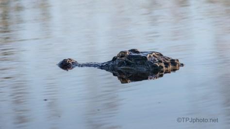 Keeping Us Company, Alligator