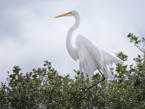 Great Egret In Tall Brush
