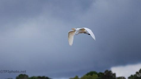 Ahead Of The Rain, Great Egret