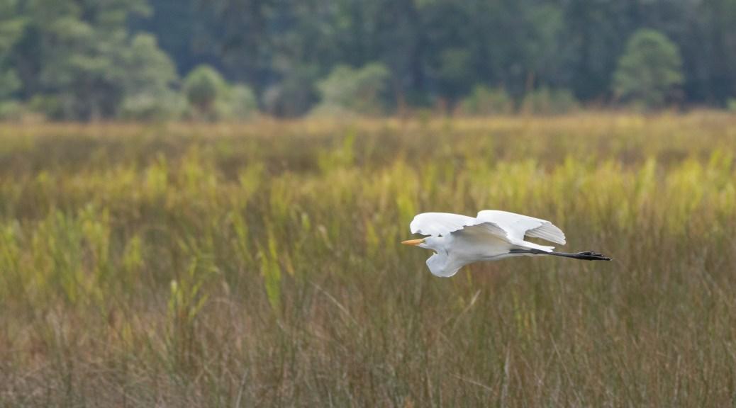 Great Egret Passing Through