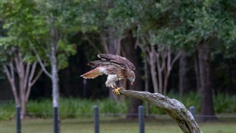 Finding Her Food, Red-tailed Hawk