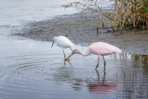 Fishing Buddies, Spoonbill And Snowy