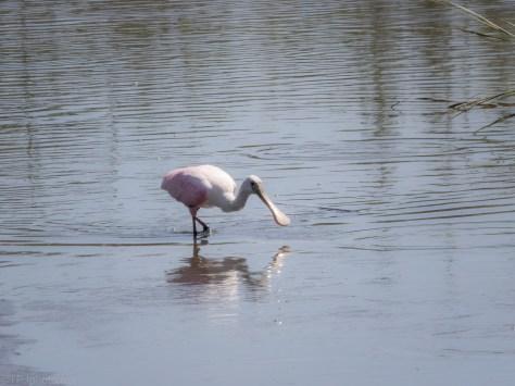 Working A Salt Marsh, Spoonbill