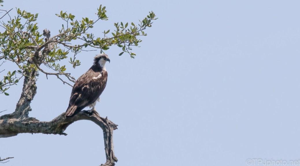 Waiting Osprey