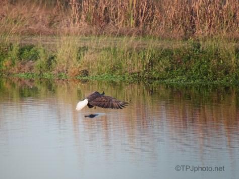 Bombing An Alligator, Eagle
