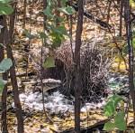 the bower bird's nest