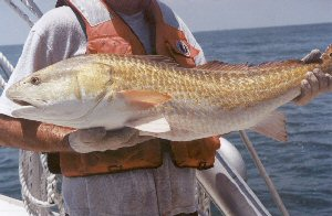 Image result for red drum