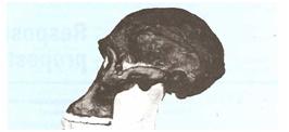 Crânio de um Astralopithecus ancestrau do homem