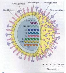 http://home.uevora.pt/~sinogas/TRABALHOS/2000/imuno00_gripe_files/image005.jpg