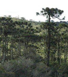 Árvores altas e de tronco reto, muito usada para extração de madeira, são características da Mata de Araucárias