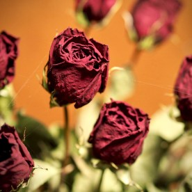 Dried roses — copyright Trace Meek