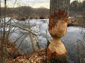 Evidence of beaver in Lawrence Swamp — copyright Trace Meek