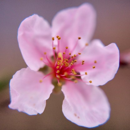 Peach blossom — copyright Trace Meek