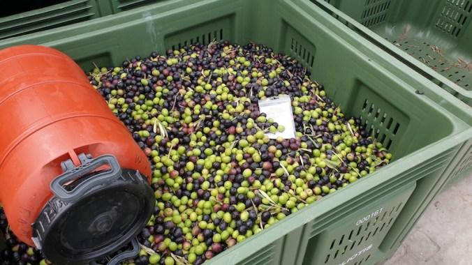 Casier plein d'olives