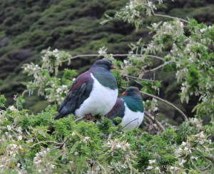 The Kereru, wood pigeon.