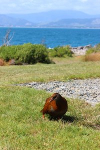 The Weka - another cheeky scrounger that you have to watch your lunch with.