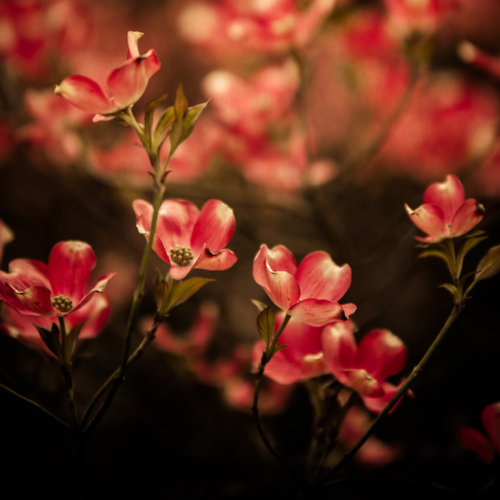 Photograph of a cluster of red dogwood flowers in Spring by Tracey Capone