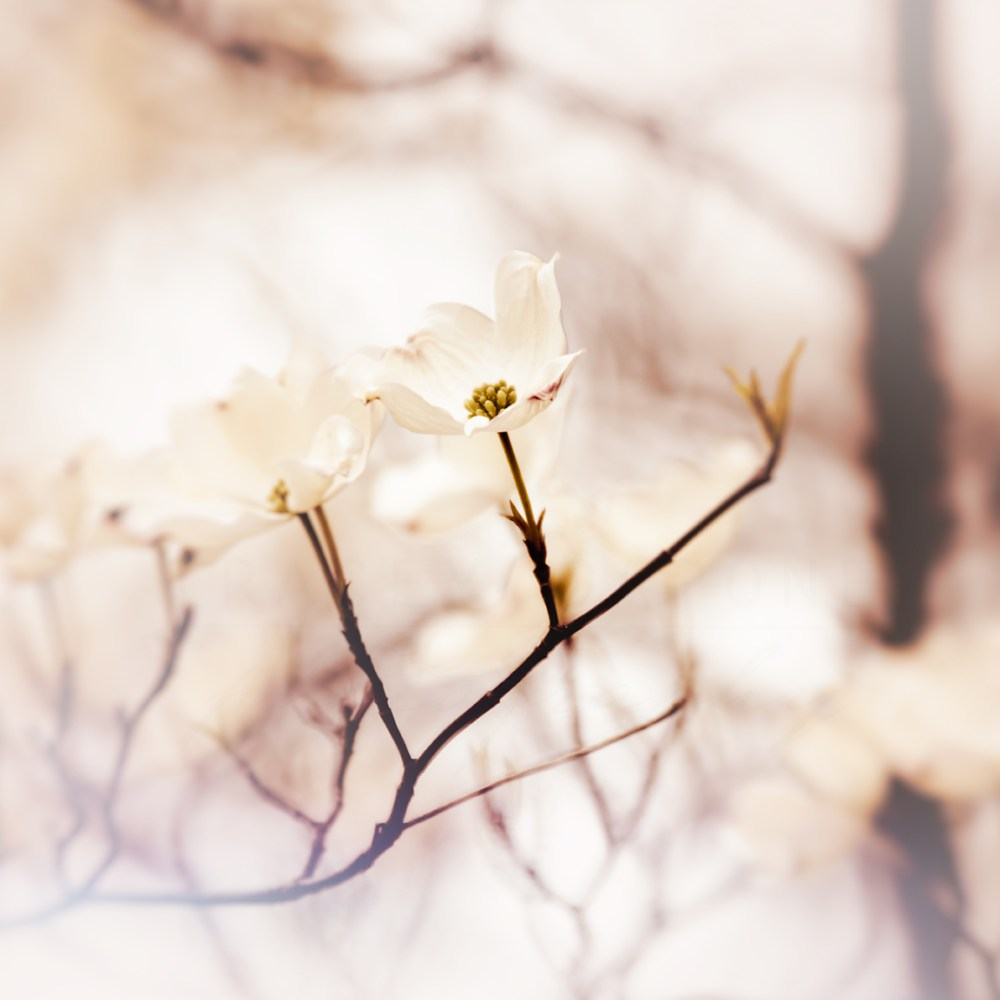 Photograph of white dogwood blowers on a blush pink background by Tracey Capone