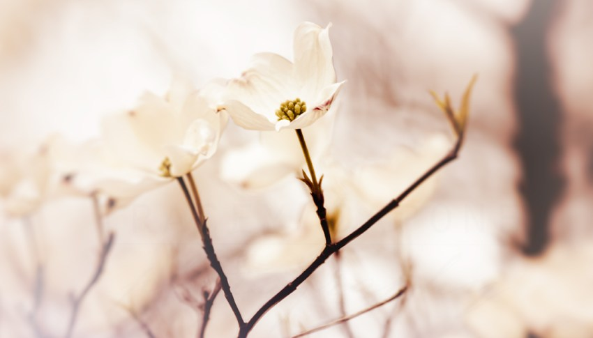 Dogwood Photography: Nature Photographs & Tips on Photographing Flowering Trees