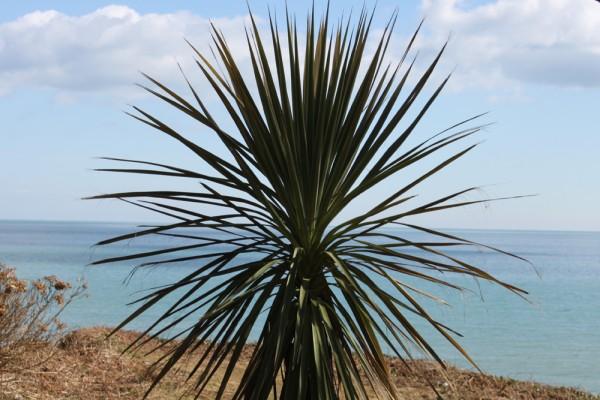 Palm tree at Meudon