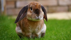 Floppy Ear Rabbit