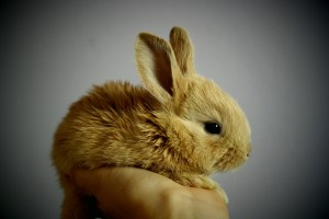 Small Red Rabbit
