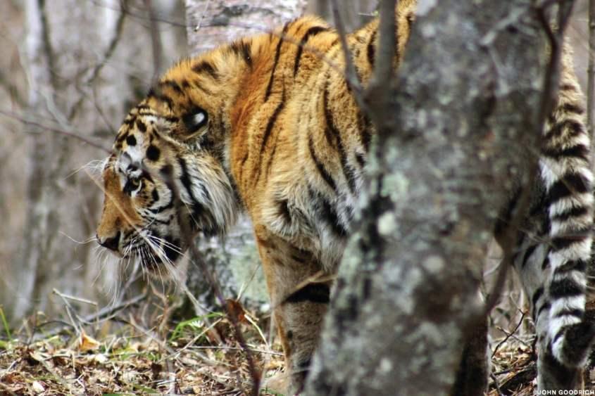 Tigre di Amur. Credit: John Goodrich per Panthera Cats.