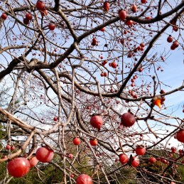 Persimmons (cropped)