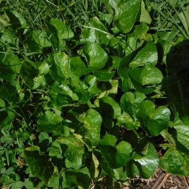 Violet (Violacea Viola spp.)
