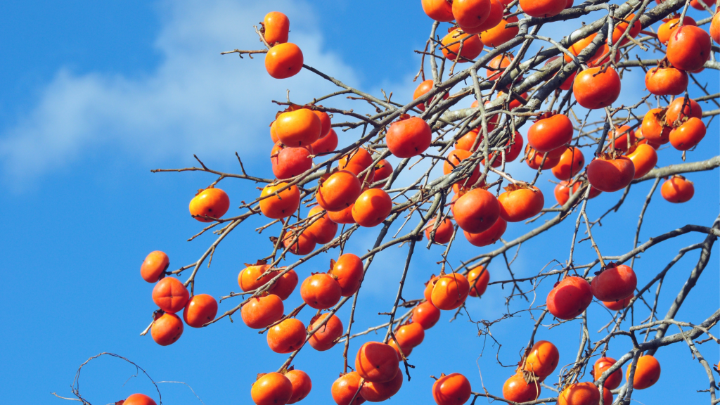 This image has an empty alt attribute; its file name is Persimmons-1024x576.png