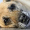 tränende Augen beim Hund