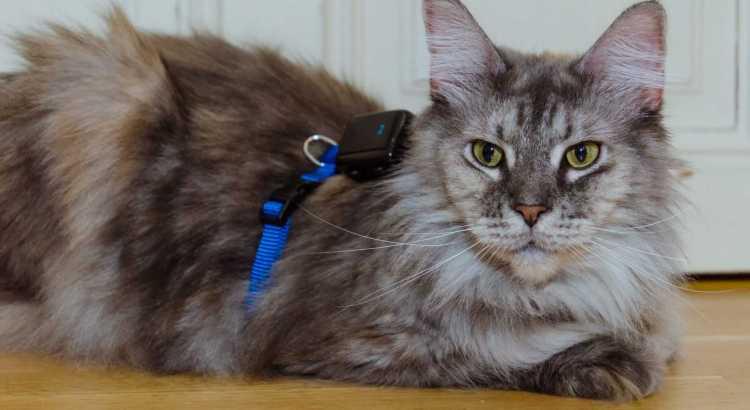 GPS Montage bei Katzen