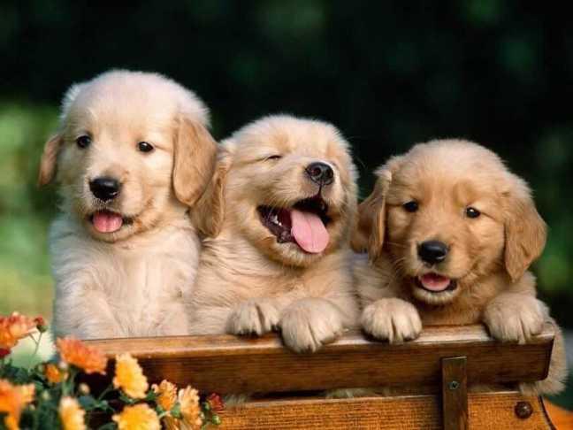 3 cuccioli di cane