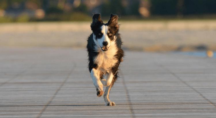 Le 8 razze di cane che scappano più spesso