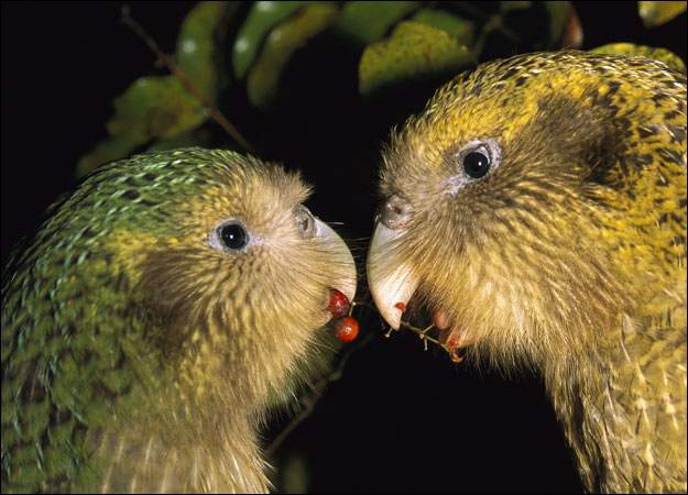 NZ kakapo pair
