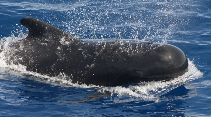 Pilot whale by Adam Li