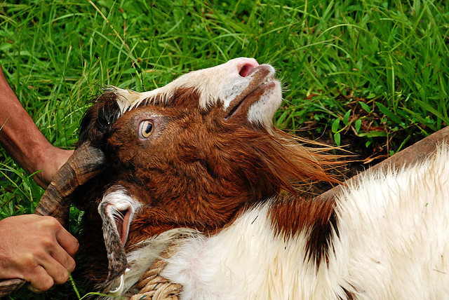 Goat held by Global Panorama