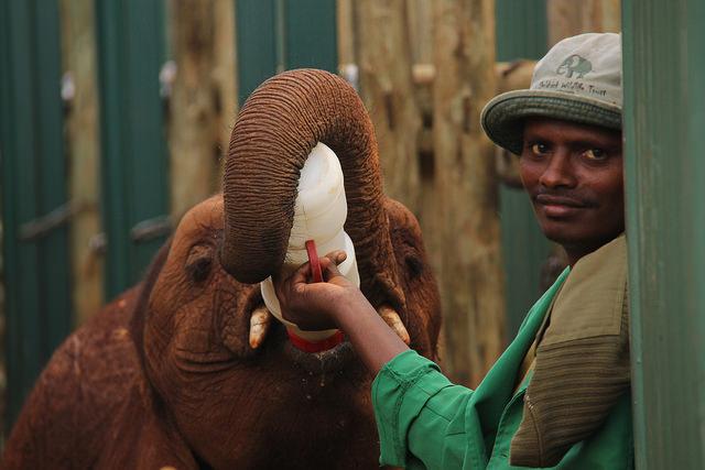 ivory elephant orphans