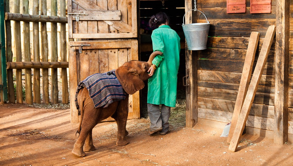 Elephant orphans find comfort in wool blankets