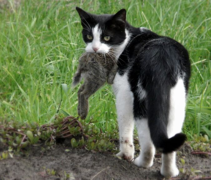 Cats prey on rabbits