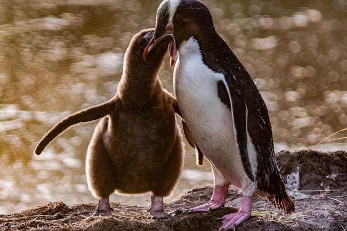 Yellow-eyed penguin and chick