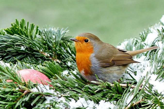 Garden birds robin