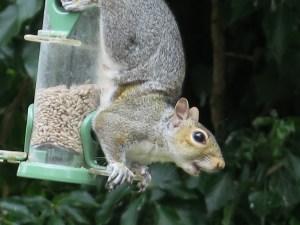 grey squirrel upside down