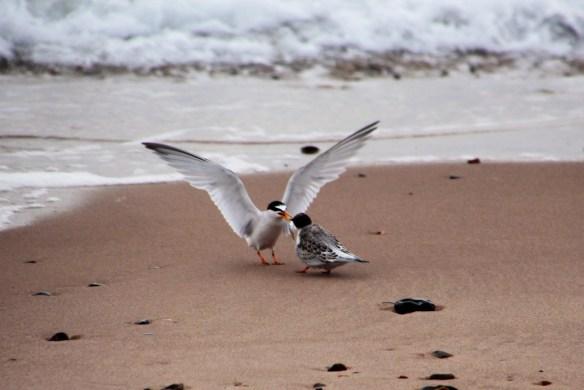 Little tern feeding a fledgling
