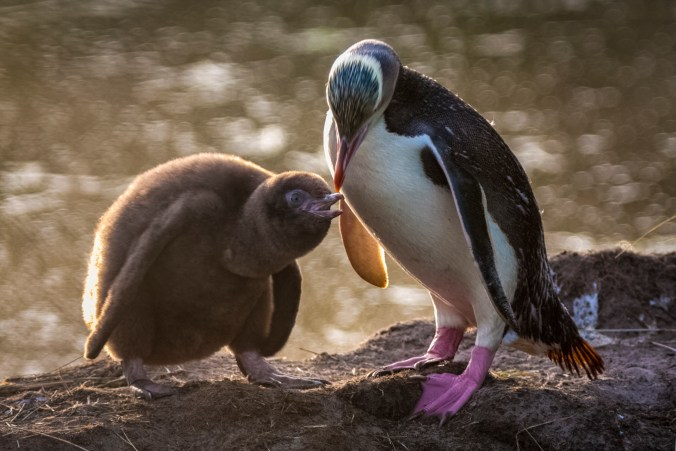 New Zealand yellow-eyed penguin feeding its chick