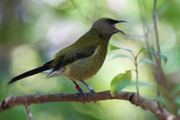 Bellbird on Tiritiri Matangi Island, New Zealand